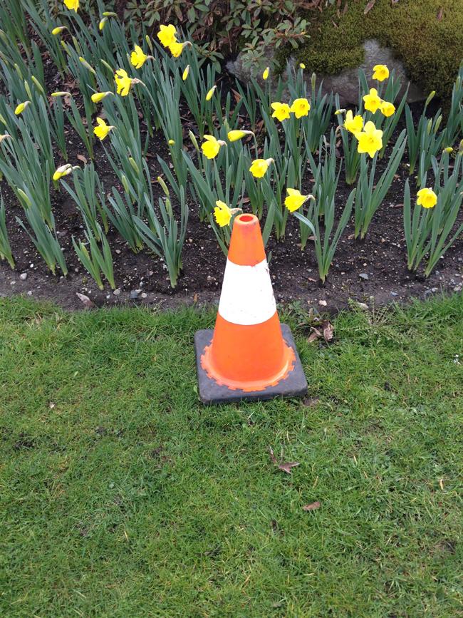 sm_yellow_daffodils
